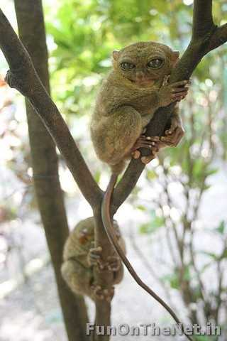 Tarsiers - Tarsiers are little apes which are found only in the islands of Southeast Asia. However, they mostly live in Borneo. They are 4-6 inches tall and their eyes are each the size of their brains. What makes these primates so rare is the fact that they were completely carnivorous-they eat bugs, birds, lizards, snakes and bats. Read more: http://www.funonthenet.in/articles/unusual-animals.html#sthash.oNrbo8k1.dpuf