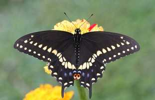 Butterfly: Black Swallowtail