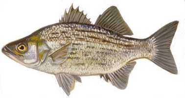 Fish: White or Sand Bass