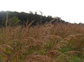 Grass: Indiangrass
