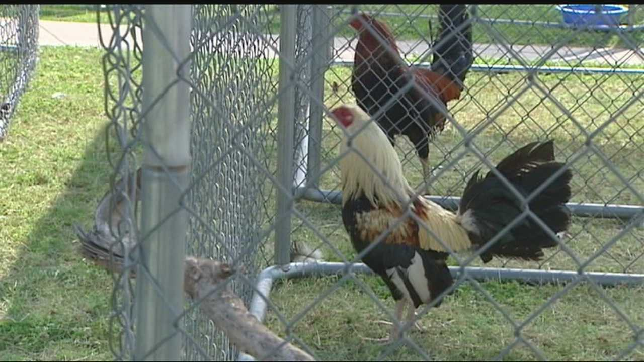 Oklahoma City police are searching for people who could be responsible for an illegal chicken fighting ring.