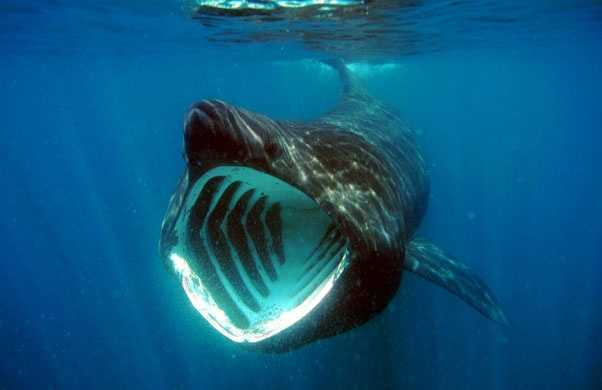 Photo by jidanchaomainBasking shark - The basking shark is the second-largest of all living shark species, with only the whale shark growing larger. They normally grow to 20-26 feet long, with the biggest confirmed specimen measuring over 40 feet long! They have mouths up to three feet wide, which they hold open while swimming. That's because they are filter feeders that scoop up plankton, crustaceans, and small fish as they swim.