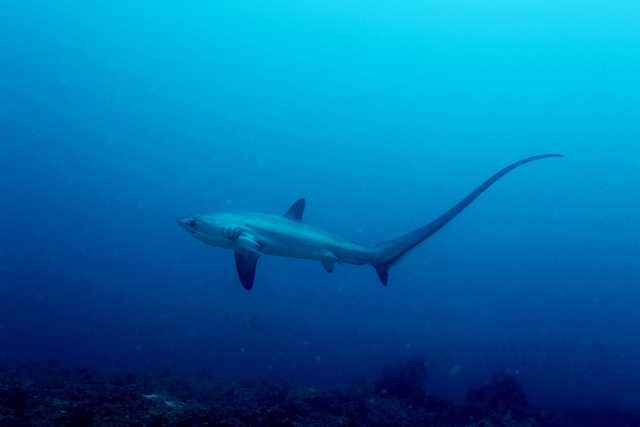Photo by Klaus StiefelCommon thresher shark - These sharks are big, just under 20 feet long! But what makes them so big is the fact that about half of their size is made up by their tail. They use it as a whip to disorient, stun and even kill their prey.