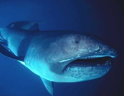 Photo by neatorama.comMegamouth shark - The megamouth was first discovered in 1976. It is a filter feeder with very small teeth, but swims with its huge mouth open to scoop up jellyfish and plankton. The megamouth shark is a rare creature and is rarely seen. There have been only 41 confirmed sightings, including one last year in which a megamouth was caught and eaten by fishermen in the Philippines.