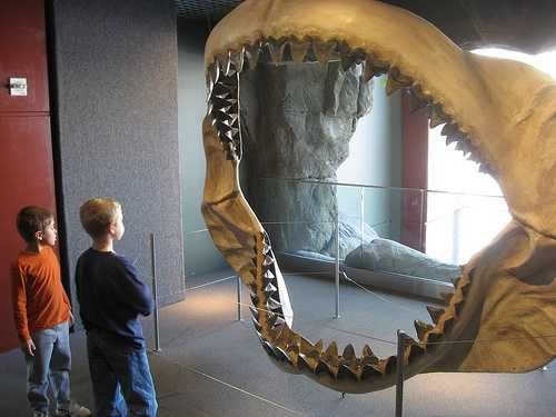 """Photo by Flickr user Steve FlamingoMegalodon - As far as we know, megalodon was the biggest shark that ever existed. It grew up to 60 feet long and consumed over a ton of food every day. The word megalodon means """"big tooth"""", appropriate as the megalodon had a bite more powerful than a T. Rex, which it used to eat whales."""