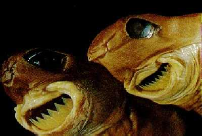 Photo from listverse.comCookiecutter shark - The cookiecutter shark derived its name from its habit of removing small circular plugs (like cookie cutters) of flesh and skin from cetaceans and large fish, including other sharks. It is hypothesized that the shark attaches to its much larger prey with its suctorial lips and modified pharynx, then rotates its body to achieve a highly symmetrical cut.