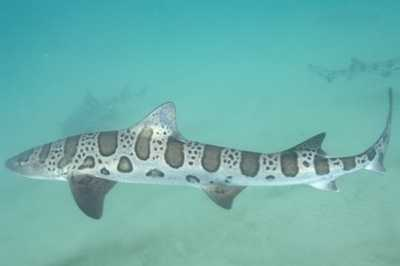 Photo from listverse.comLeopard shark - The leopard shark is a species of houndshark found along the Pacific coast of North America from the U.S. state of Oregon to Mazatlán in Mexico. Typically measuring 3.9–4.9 ft long, this slender-bodied shark is immediately identifiable by the striking pattern of black saddle-like markings and large spots over its back, from which it derives its common name.