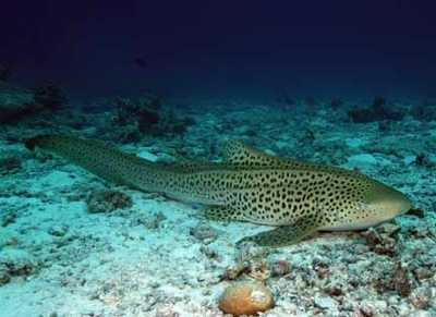 Photo from listverse.comZebra shark - The zebra shark is a species of carpet shark. Docile and slow-moving, zebra sharks are not dangerous to humans and can be easily approached underwater. However, they have bitten divers who pull on their tails or attempt to ride them.