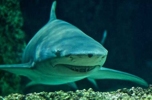 Photo from popsci.comSickle fin lemon shark - Smile for the camera....actually maybe not! This scary looking shark can reach sizes of 12 feet long and occasionally attacks humans, especially if provoked.