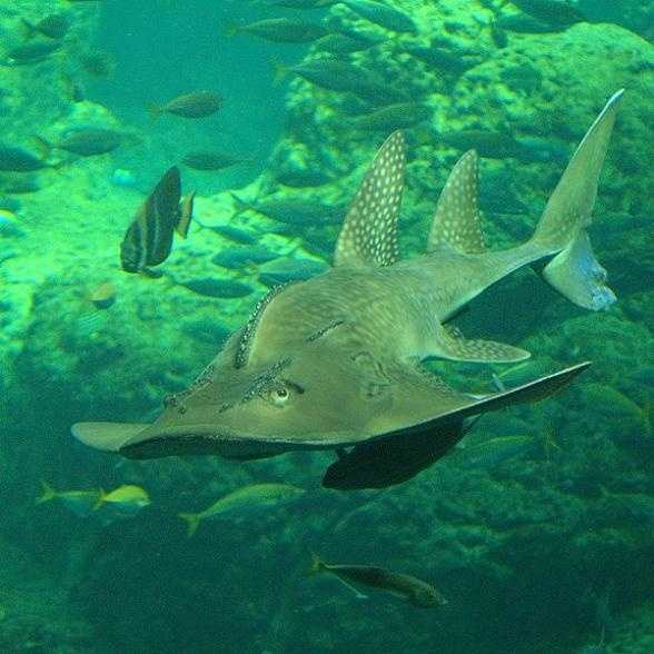 Photo from popsci.comBowmouth guitarfish - The bowmouth guitarfish is actually a ray, though due to its shark-like body is sometimes called a shark ray. It's found all over the tropical sections of the Pacific and Indian Oceans, and survives well in captivity--but is relatively rare,