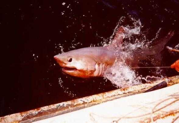 """Photo from popsci.comPorbeagle - Ok, so it kind of looks like a great white's wimpy cousin. A porbeagle is a large and thick shark and is not an aggressive. It is by all accounts delicious, and is now listed as """"vulnerable"""" due to overfishing."""