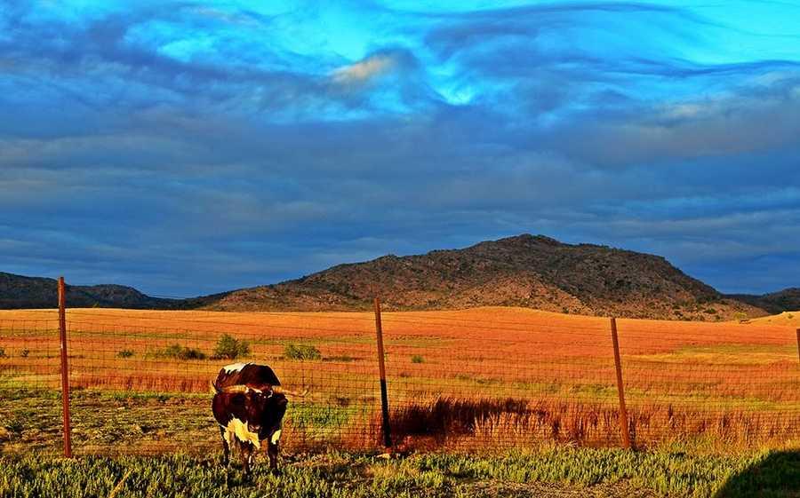 Longhorn at Wichita Mountains National Wildlife Refuge