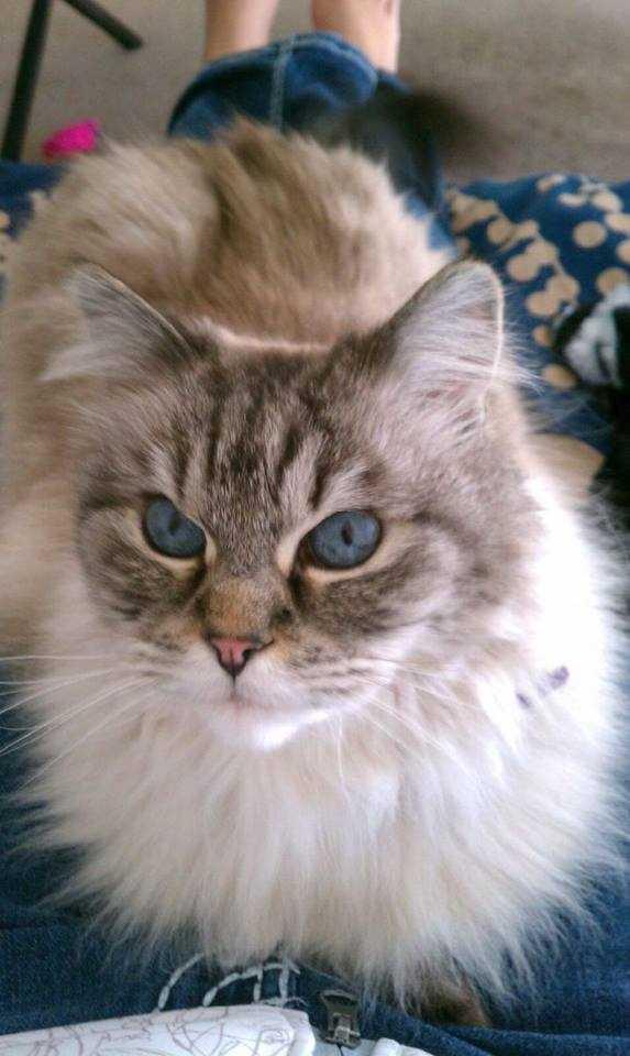 Angel -- a temperamental feline