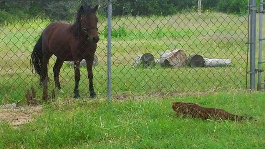 Bengal trying to sneak up on a horse... It's not working.