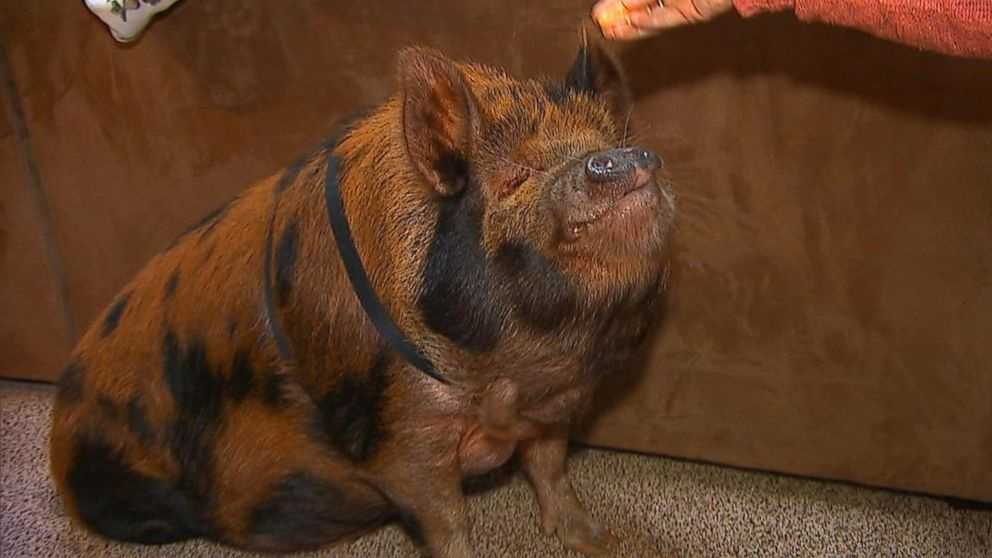Tucker the pig. Photo from ABC News.