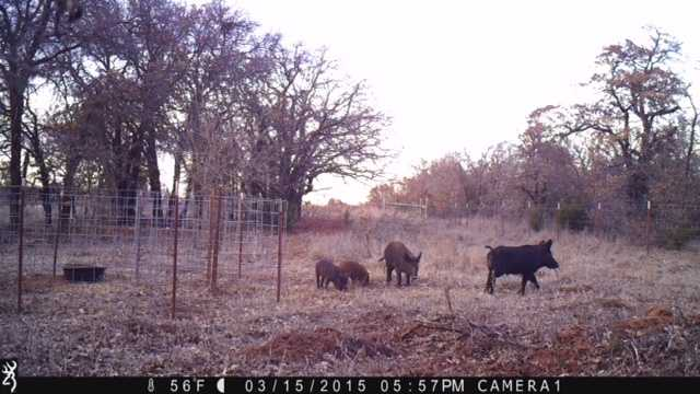 Feral swine pictured are less than 1/3 of a mile from a metro area high school on March 15, 2015.