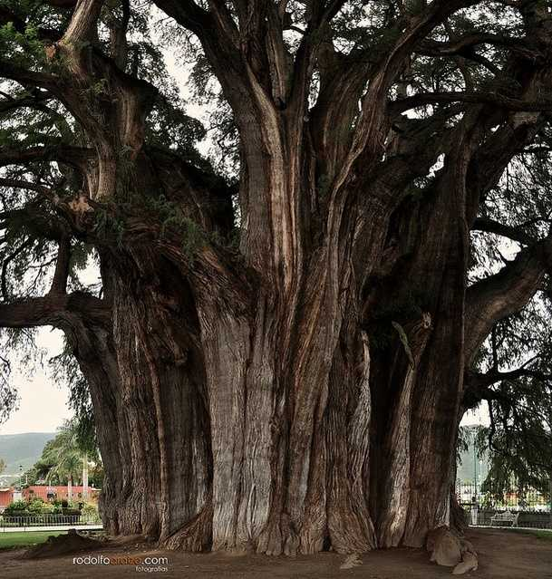 2. El Arbor del Tule: This Montezuma cypress tree resides in Oaxaca, Mexico. With a circumference at 119 feet, it holds the current record of the of greatest girth among trees. Photo courtesy Rodolfo Araiza - Flickr