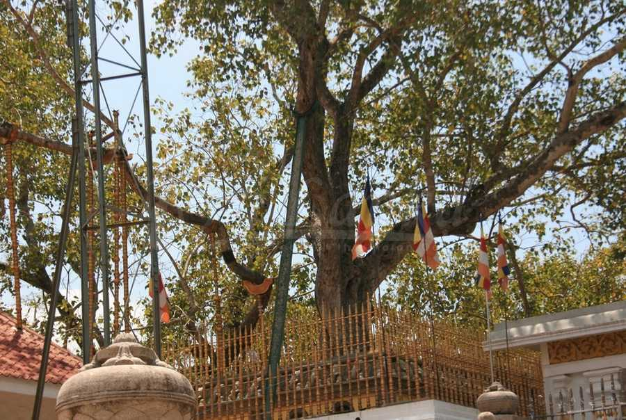 5. Jaya Sri Maha Bodhi: Located in Anuradhapura, Sri Lanka and planted in 288 BC, it is the oldest living tree in the world planted by humans. It is considered a sacred tree to Buddhists. Photo courtesy VSL Travels - Flickr