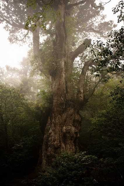 6. Jomon Sugi: The largest conifer in Japan at 83-feet-tall, and with a 53-foot girth. Jomon Sugi is located on the north face of the tallest mountain on Yakushima Island and is estimated to be between 2,170 and 7,200 years old.
