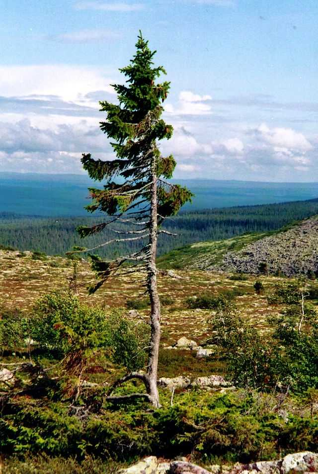7. Old Tjikko: The Norway spruce stands at just 16-feet-tall in Sweden, but is 9,550 years old, the oldest single-stemmed clonal, meaning its roots have endured for its whole life.