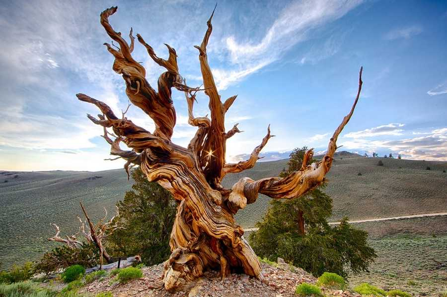 In celebration of Arbor Day, check out this list of some of the most remarkable trees in the world, as compiled by TreeHugger.com.1. Methuselah tree: The ancient bristlecone pine is located in Inyo National Forest, California and considered one of the world's oldest trees, at around 5,000 years old. The actual Methuselah tree is secret and protected, meaning no one knows what the actual tree looks like. Photo courtesy Chao Yen - Flickr