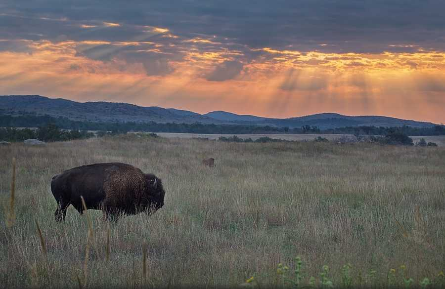 Wildlife viewing is popular at the refuge. See free-roaming bison. Photo from Flickr courtesy Larry Smith.