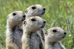 Prairie dogs run rampant at Wichita Mountains National Wildlife Refuge. Photo from Flickr courtesy Larry Smith.