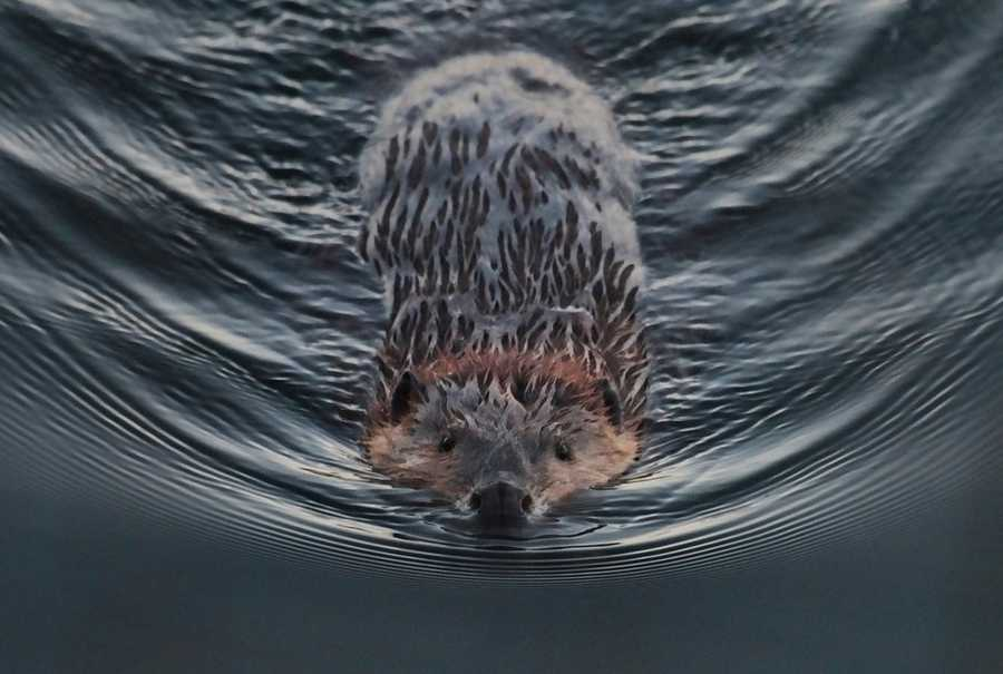 Watch the beavers work.Photo from Flickr courtesy Larry Smith.