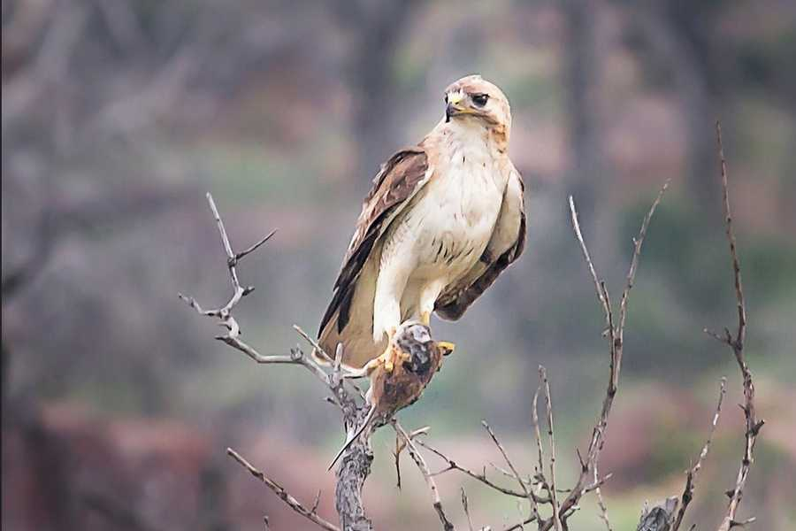 Hawks can also be seen at the refuge.Photo from Flickr courtesy Larry Smith.