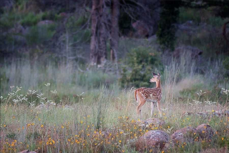 White-tailed fawn.Photo from Flickr courtesy Larry Smith.