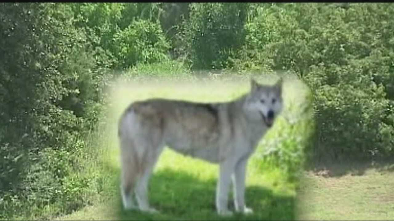 The animal, which could be a wolf or dog, is drawing a lot of attention in Choctaw.