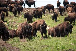 Drive the roads through the preserve to see some of the largest bison herds in the country.Photo from Flickr by Travel Aficionado.