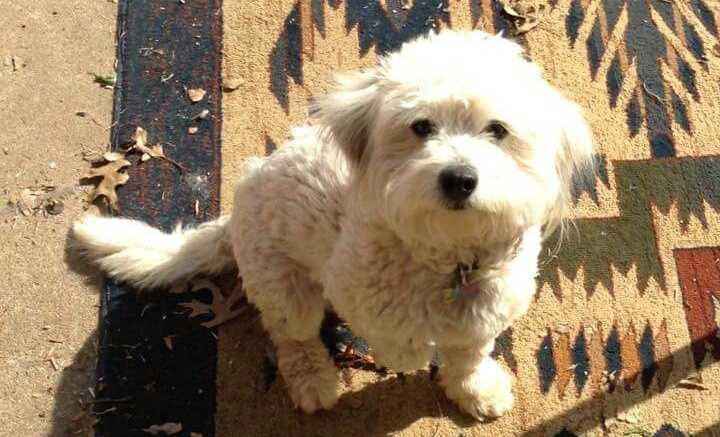 LOST: Pancho is a male lhasa apso. he is 3 years old and has a tattoo with numbers in his belly. He's neutered.
