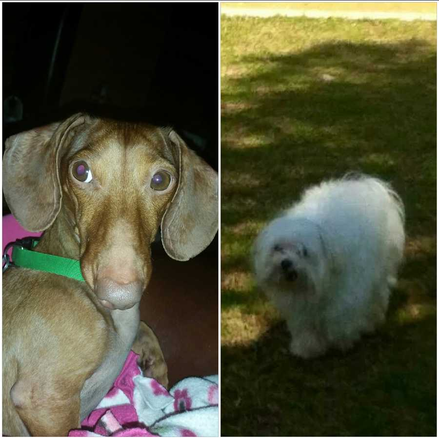 LOST: Skattle and Shakespeare. Skattle is a red/brown miniature dachshund with a docked tail. Shakespeare is a white Maltese who is approximately 5 pounds.