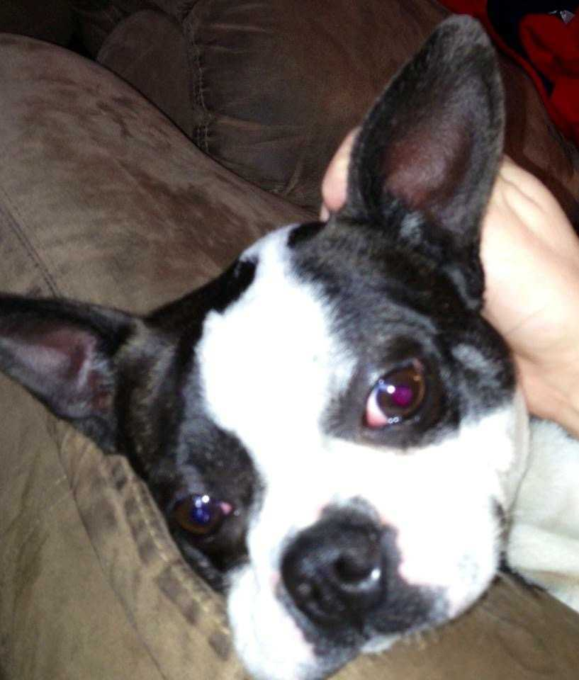 LOST: My 4 year old Boston Terrier has ran off. He has been missing since early Morning of July 22nd. He didn't have a color. He is black and white, with a little bit of brindle in his coat. His name is Jinx.