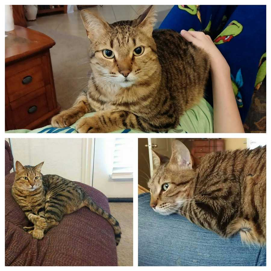 LOST: Leo is a male, tan/brown Bengal Mix Tabby cat with white on his mouth and chin. He still has all his claws and LOVES people and treats.  He is neutered but bit parts remain.