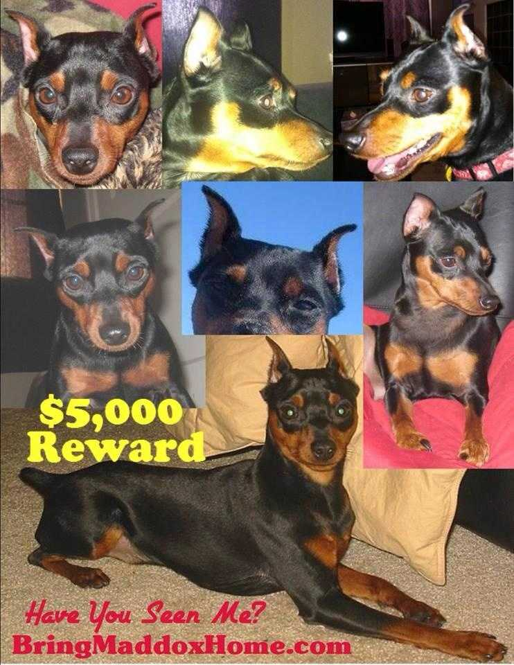 $5,000 reward - Picked up after June 2013. Tracking dogs followed his scent to a home in Edmond, OK where the scent stopped. There was no scent leading away from the home, meaning he was picked up. We have no answers, except he's not there now. He may still be in the Oklahoma City/Edmond area, but could easily be many miles away. As often happens with a found dog, his microchip has yet to be scanned. Maddox Miniature Pinscher Lost in Okc is a 9y/o, microchipped, black & tan, docked and cropped, neutered male.BringMaddoxHome.com Help BRING MADDOX HOME!405-28FOUND! (405-283-6863)