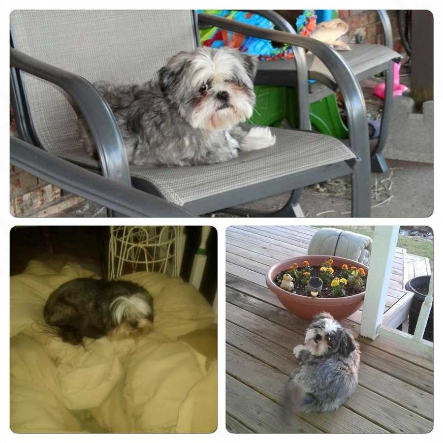 LOST: Howie Bow Wow is an 8 year old, neutered, gray and white Shih Tzu.  He has a large hernia on his belly and a small fatty tumor on the underside of his neck.  He went missing June 29 around 9:30 on Luther Road between Covel and Coffee Creek. He is very friendly and current on his shots.