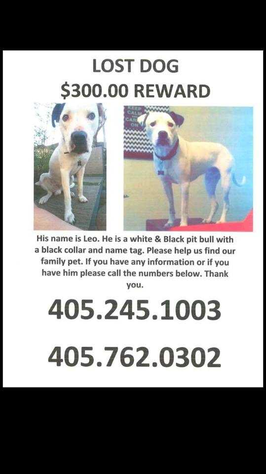 LOST: Leo is a white and black pit bull.