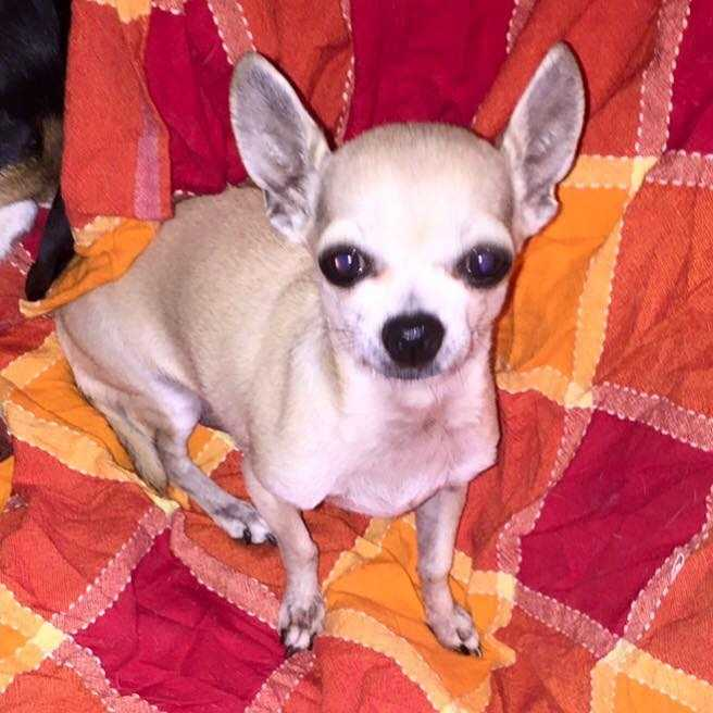 LOST: Male chihuahua went missing at 5 p.m. Sept. 16. He was off Eastern in between 12th and 27th in Moore. Contact 405-996-0524 if seen or found.