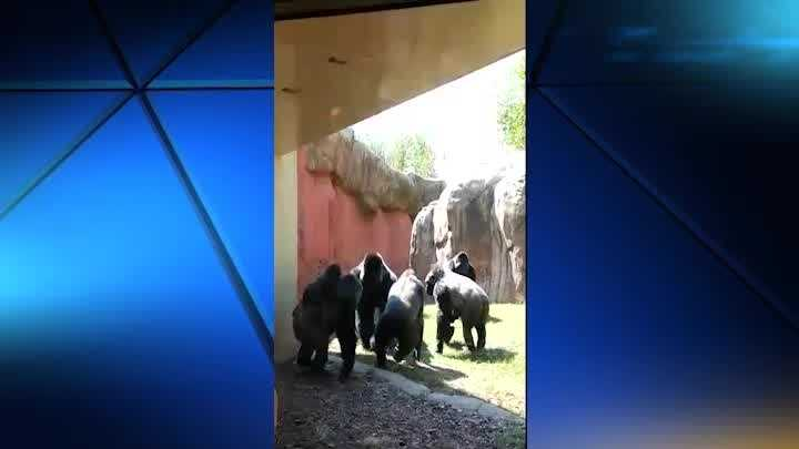 Patrons at the Oklahoma City Zoo were buzzing after a fight at the gorilla enclosure on Sunday.