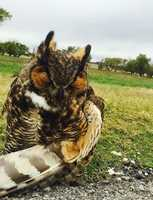 Norman police rescued an injured owl along Interstate 35 Thursday. Sgt. Darin Morgan came across the owl and gave it to WildCare Oklahoma in Noble to be cared for. But first, the owl got a ride in the front seat of a police cruiser.