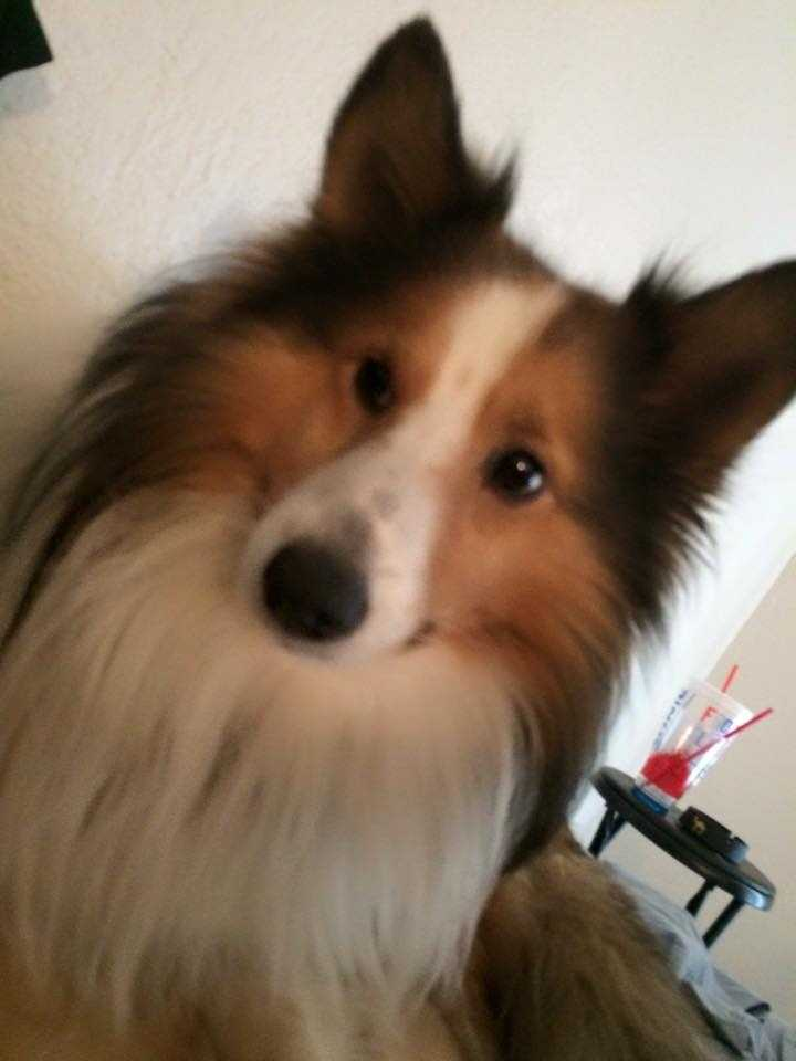 LOST: Five days ago this miniature sheltie came up missing. He is very friendly. He does bark and is very skittish. There is a reward being offered. He was last seen in the area near 36th and Villa. Please contact the owner at 405-778-1870 with any information.