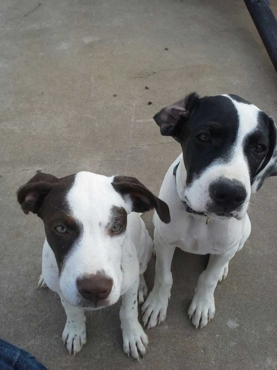 Lost from Del City, near Southeast 29 and Sunnylane. These two female pointers are much bigger now than in this picture. They are microchipped. The bigger one (Roxie) is black and white. The smaller one (Little Bit) is brown and white. Please call 405-760-6305 if you see them.