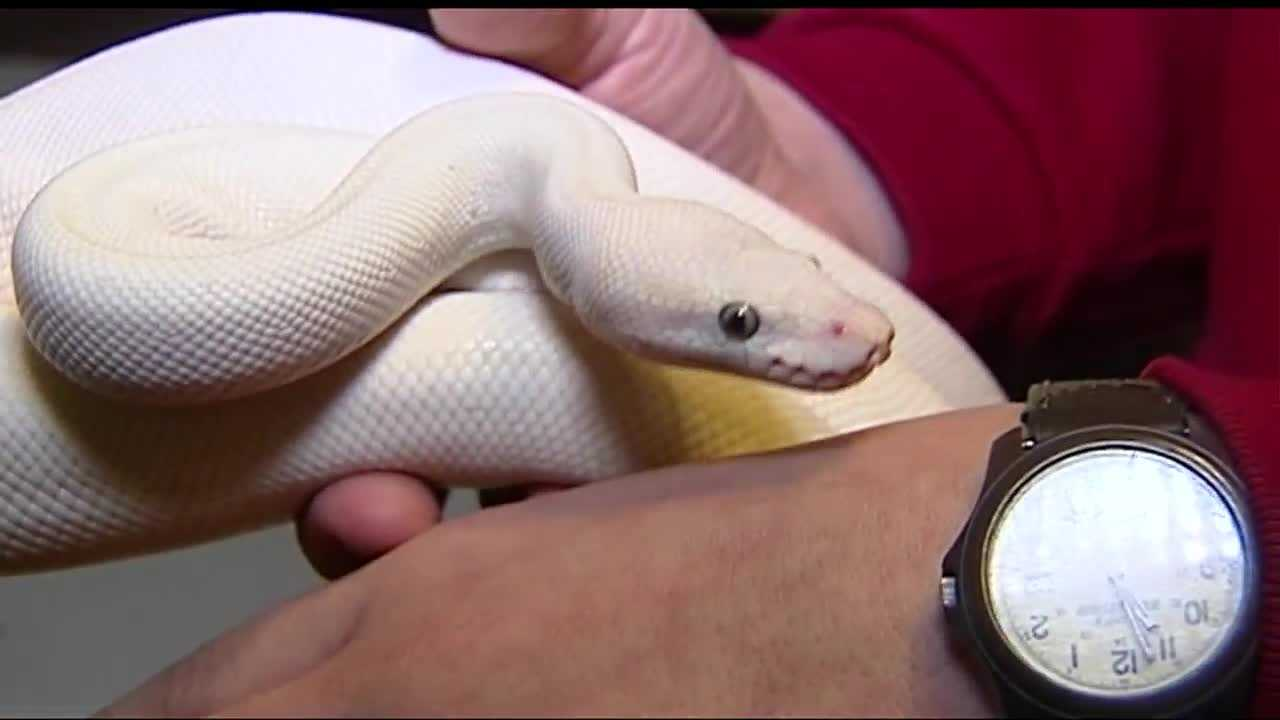 "Gary Barksdale owns 18 pythons and keeps them in a snake room in his Norman home. ""There's nothing evil or harmful about the snake,"" he said, as he went through several of his favorites, including the Mojave Bumble Bee and Purple Albino Golden Child."