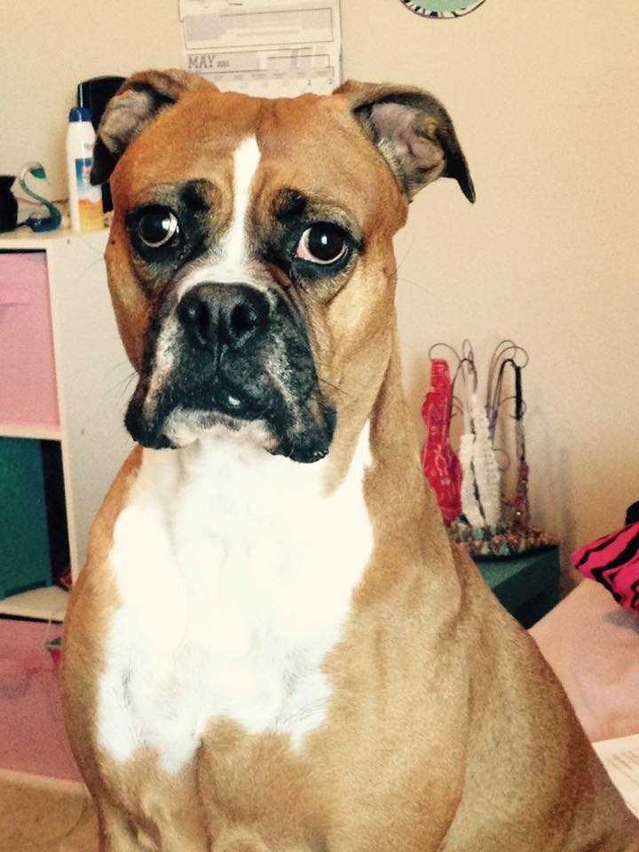 Boxer, Lily, has been missing since 2/16/16. Last seen near North Penn & Covell intersection in northwest Edmond. Contact web@koco.com with any information.