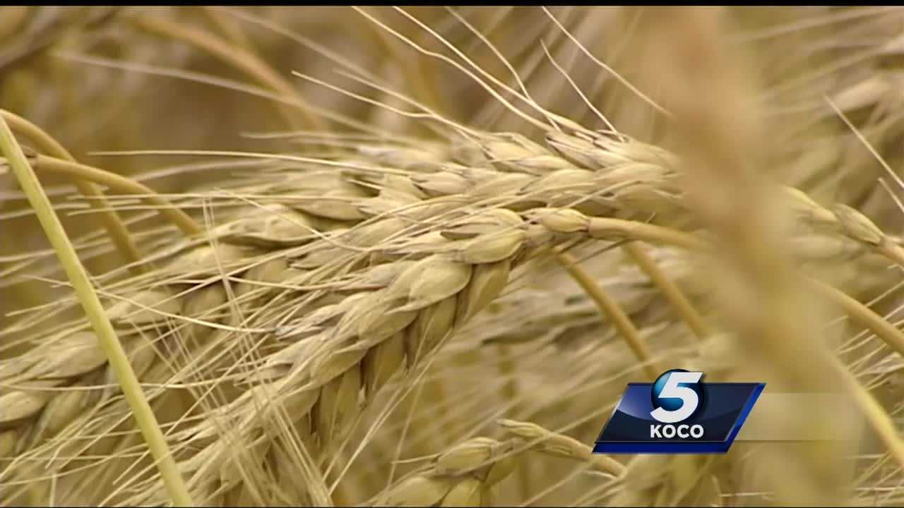 Wheat farmers are expecting a good yield during this harvest.