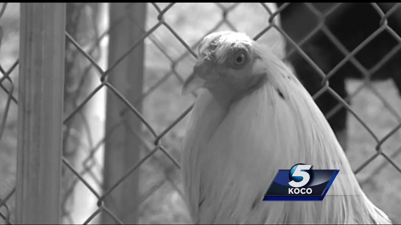 Oklahoma City Animal Welfare rescued 77 roosters from what is believed to have been a possible cockfighting ring in southeast Oklahoma City. A 37-year-old Oklahoma City man now faces charges in connection with the possible cockfighting ring.