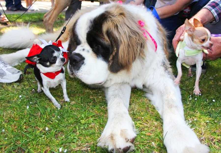 Big and small dogs are all welcome at the Wag n' Walk. (May 5, 2012)