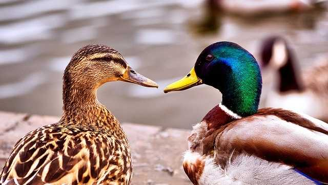 These ducks were not harmed.